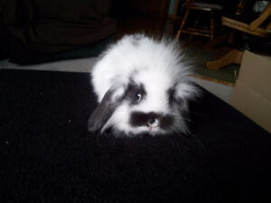 Mini Lionhead Lop for Sale
