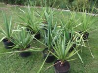 JOB LOT 20 off Yucca Filamentosa, Adam's Needle – UK Outdoor Hardy Up To 10 Litre