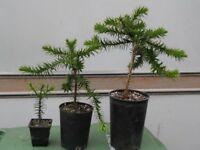 Monkey Puzzle Trees, (Araucaria Araucana) 3 sizes