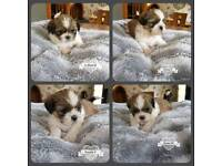 Pure bred shi-tzu puppies