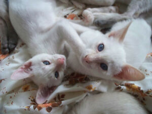 Chatons Siamois ♥ Pure Siamese kittens - Red & Blue Point