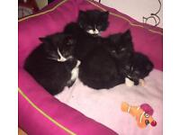 😻😻 Adorable Ragdoll x Kittens 😻😻