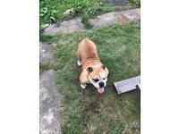 Family Friendly English Bulldog