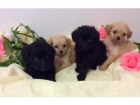 Cavapoo Puppy's forsale