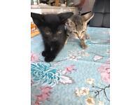 2 kittens for sale £50 each