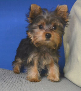 Yorkshire Terrier, litter pick from t-cup Yorkie sire