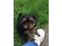 yorkshire terrier pups 3 x boys for sale