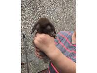 3 chocolate lop eared bunnys