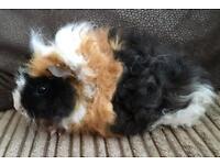 Lunkarya guinea pigs for sale