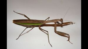 Adult Chinese Praying Mantis