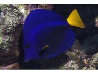 Purple Tang Marine Fish