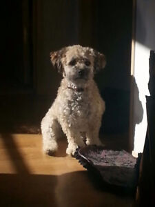 Lovely Shorkie-poo Puppies for Sale