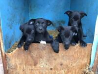 4 border collie pups for sale