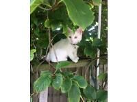 Turkish white cat