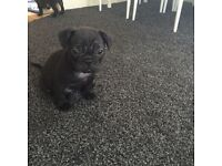 Beautiful French Bulldog cross pug for sale