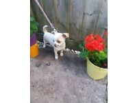beautiful Chihuahua female 10 weeks old white/cream