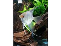 Beautiful large Angel fish. Very active & healthy