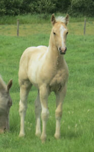 Beautiful Palomino and White Registered Filly