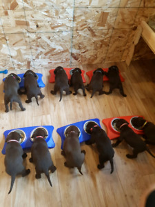 Chocolate Lab puppies  2 females left 0 males