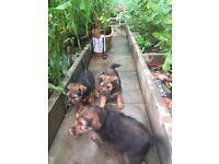 Border terrier x Welsh terrier puppies