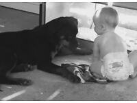 Rottweiler puppy 9 months , top champion blood line kc registered