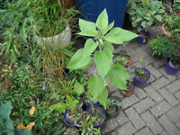 Plant for sale-a sunflower plant