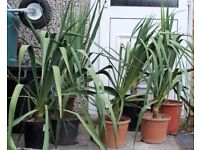 HARDY, TROPICAL LOOKING LARGE FLOWERING YUCCA PLANT ONLY £10 EACH, CAN DELIVER