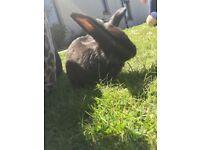 Rabbit male 5mnths