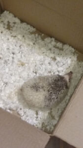 Hedgehog and supplies for sale