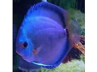 tropical fish for sale discus