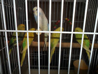 For Sale Beautiful Baby Budgies