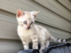 pure bread hypoallergenic bengal kittens for sale