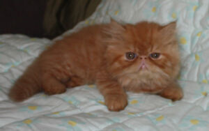 Persian and Himalayan kittens ready to go