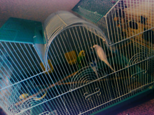 This is the budgie bird