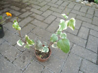Plants for sale-variegated English ivy plants in 10 cm pot