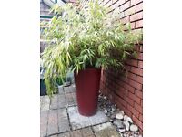 Real beautiful mature bamboo plant in nice red planter