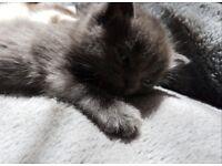 2 Mixed BSH British Shkrthair kittens
