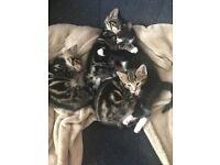Pretty Kitties in Herne Hill SE24 - 2 kittens left; free to good homes