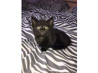 Beautiful kittens for sale 2 girls left