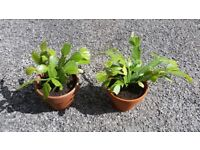 Christmas Cactus Plants in teracotta pots