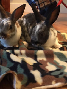 2 Dwarf Bunnies with cage