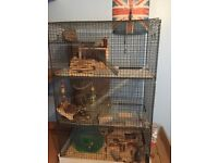 2 Male Degus With 4 Story Cage
