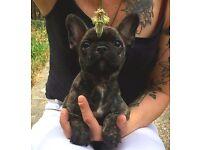 Kc french bulldog puupy
