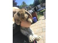 Giant French lop doe's ready to leave