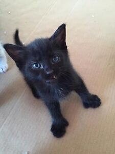 Young Male  - Domestic Short Hair (Black)