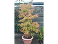 JAPANESE ACER TREE