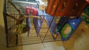 2 Ferrets for rehoming