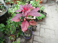 Plant for sale-A red Amaranth plant