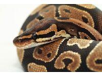 Adult royal python