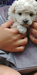 Maltipoo puppies for sale.